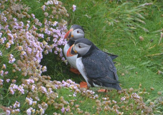 Figure 17. Puffins, Sumburgh Head, South Mainland.