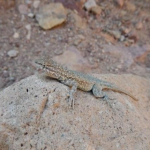 A little friend joined us looking at a fault with basement gneiss footwall and volcanic hanging wall.